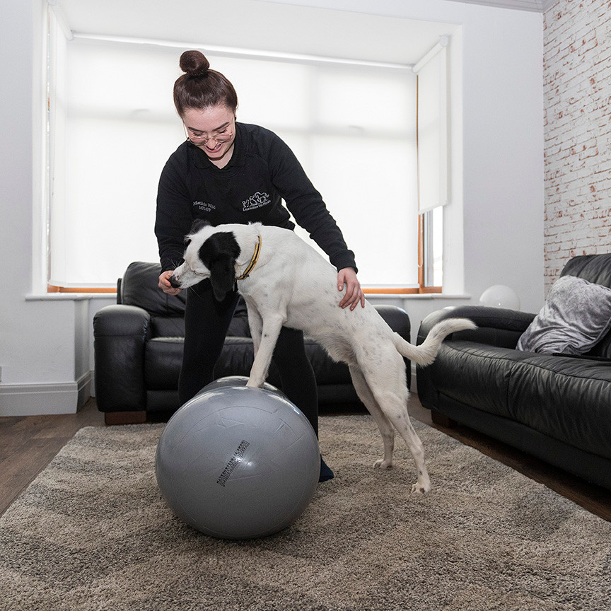 Dog on a peanut ball, performing physiotherapy stretches