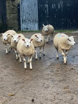 Beltex ewe lambs