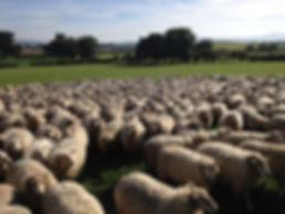 Highlander flock ewes