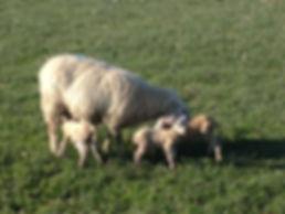 Outdoor lambing. Highlander ewe and Charollais lambs