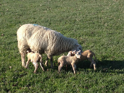 Outdoor lambing. Highlander ewe and Charollais lambs