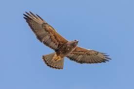 I am hawk