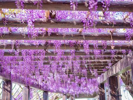 京散策-鳥羽紫藤
