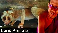 Seeing Loris Primate.jpg