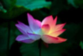 lotus-flower-5151674__480.jpg