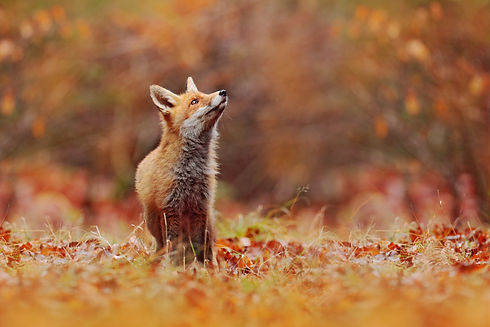 Cute Red Fox, Vulpes vulpes in fall fore