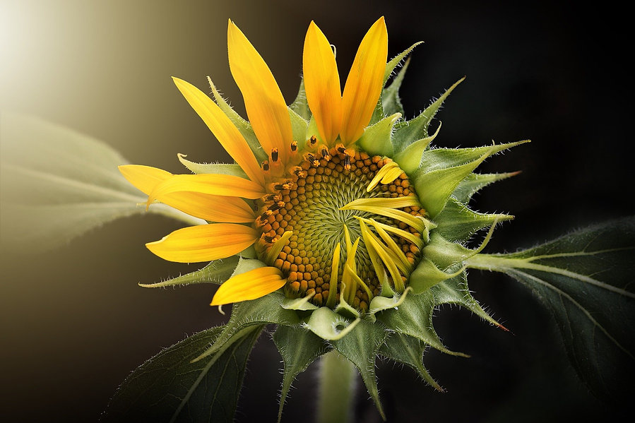 sunflower-3113318_1920.jpg