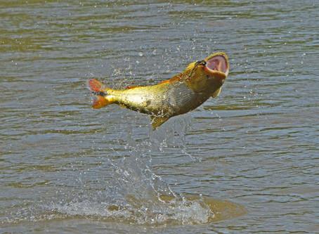 El sueño Dorado cumplido. Programa Río Dulce de pesca de dorados con mosca
