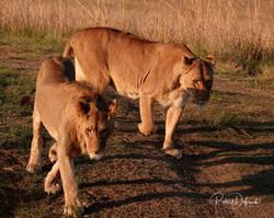 Couple lionne lion
