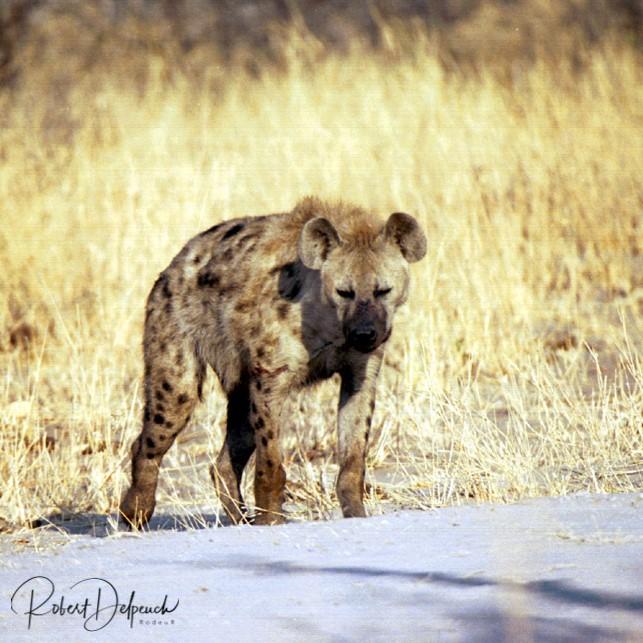 Hyène tachetée - Hwange