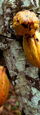 Caboces de cacao