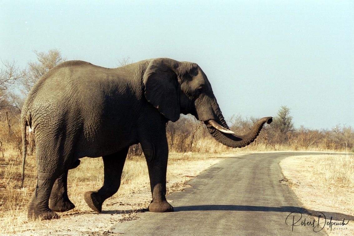 Eléphant d'Afrique - Hwange