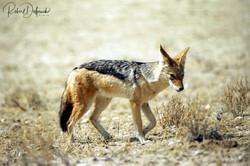 Chacal à chabraque - Désert du Kalahari