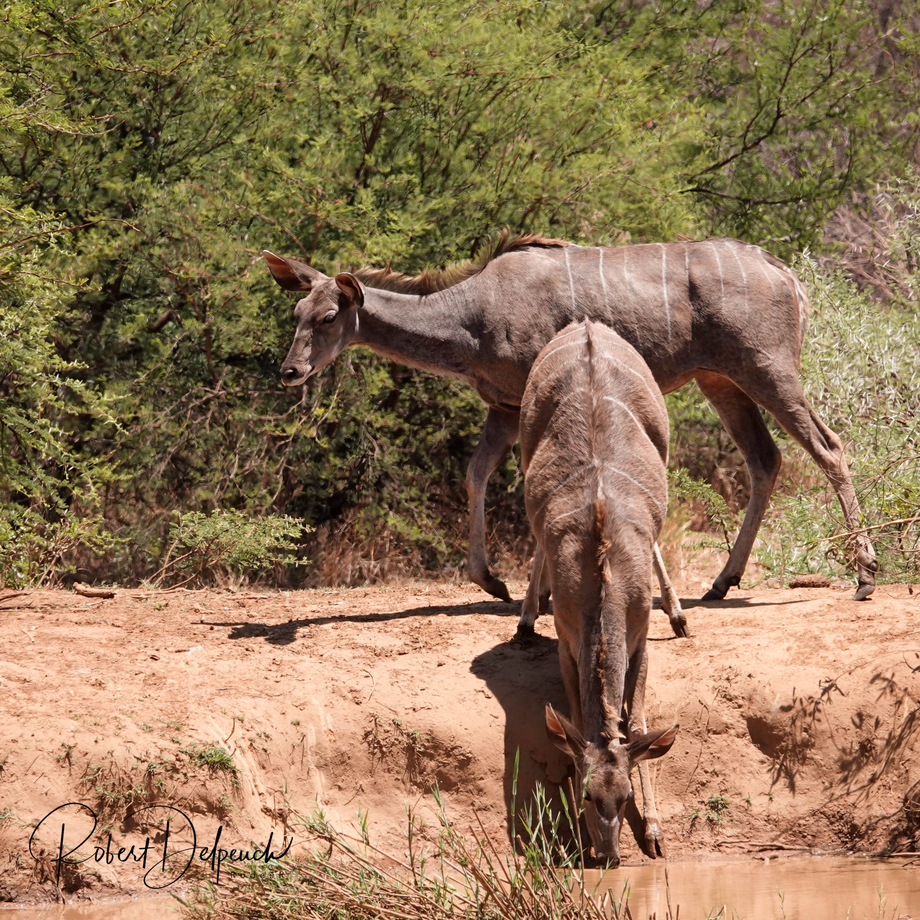 Grand koudou femelle