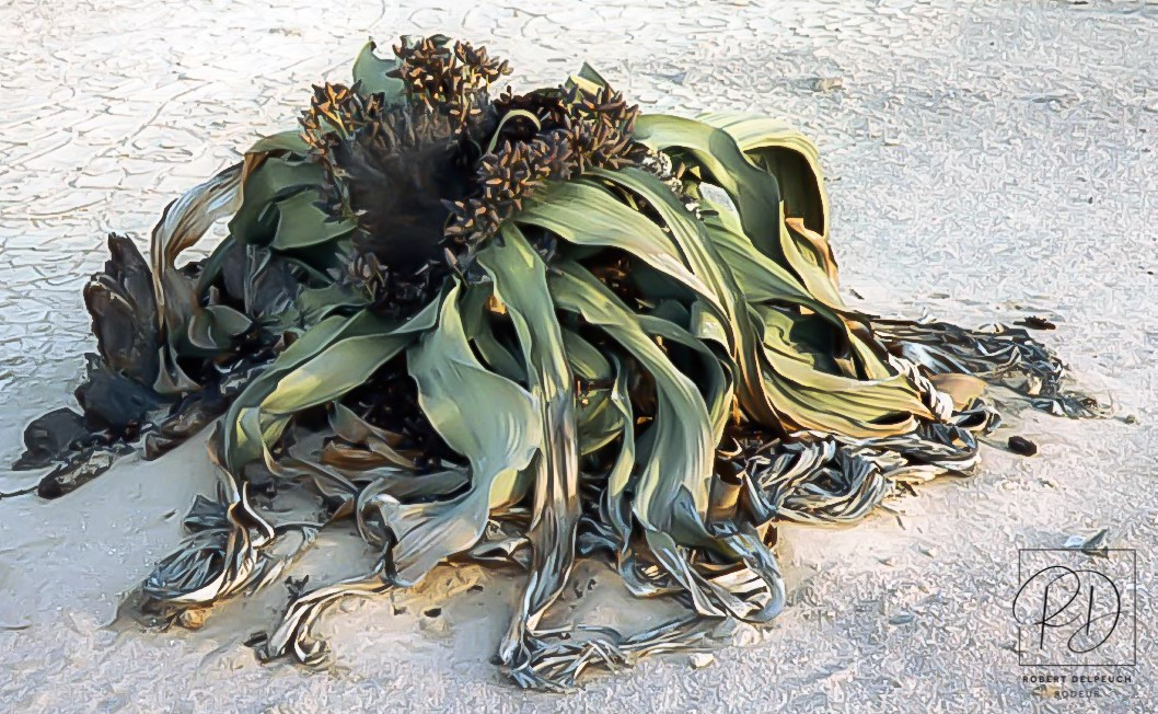 Welwichia mirabilis, près de Swakopmund, désert du Namib
