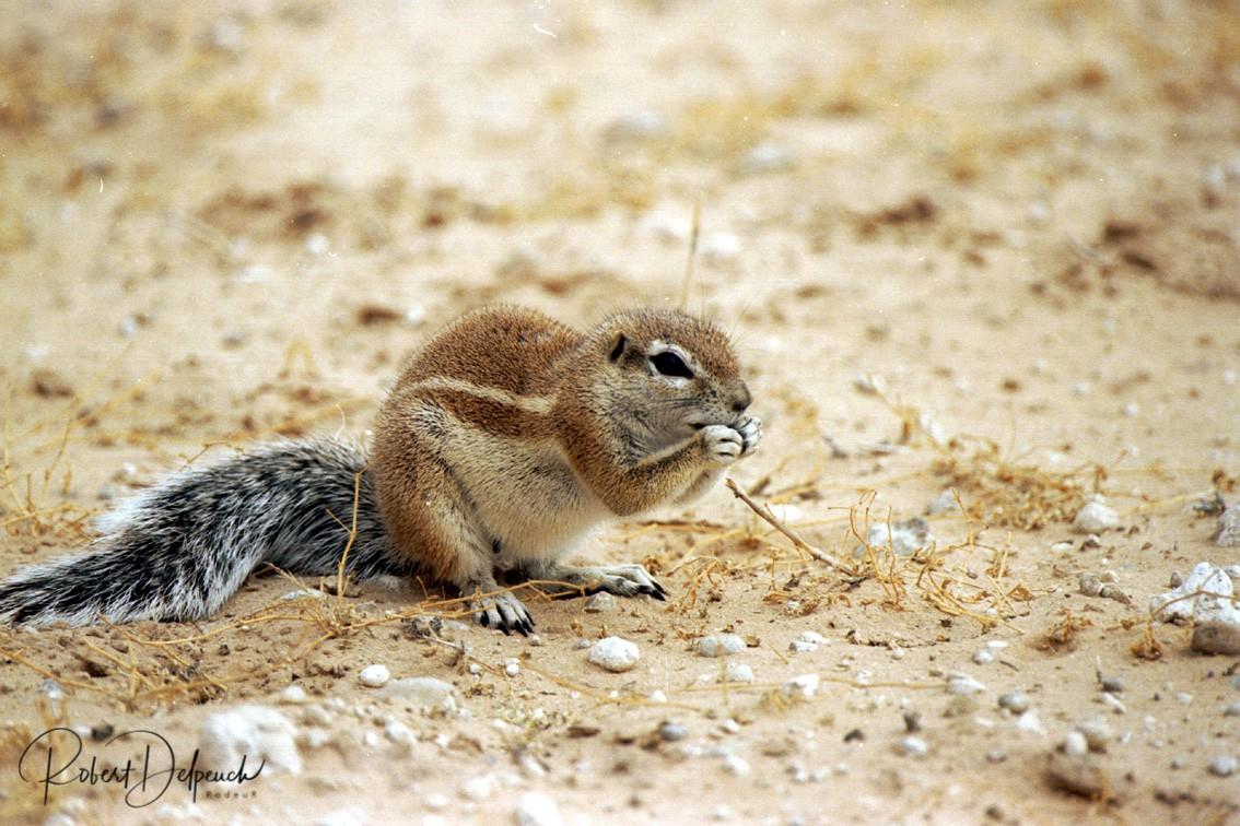 Ecureuil terrestre - Désert du Kalahari