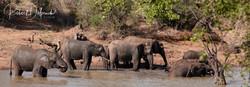 Eléphant d'Afrique