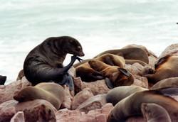 Otarie à fourrure du Cap - Cape Cross