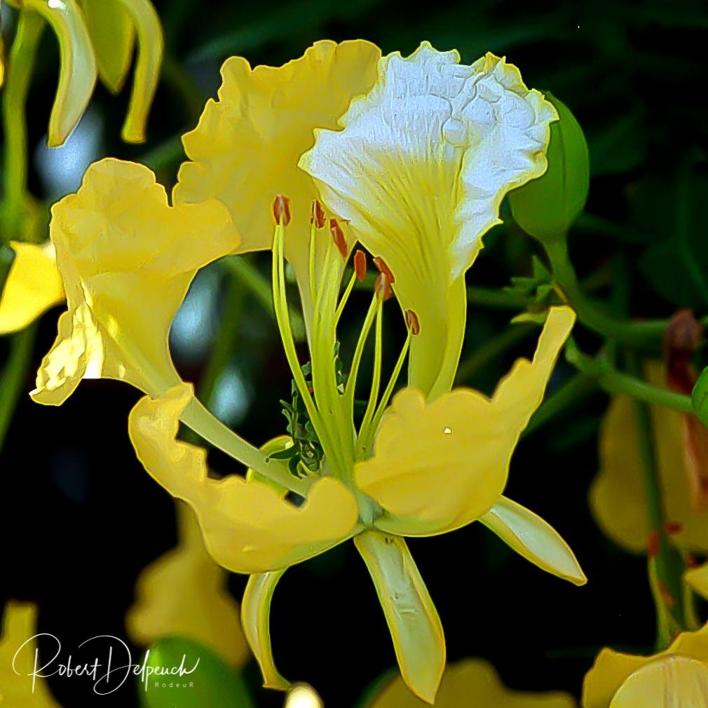 Flamboyant jaune (très rare) Côte d'Ivoire
