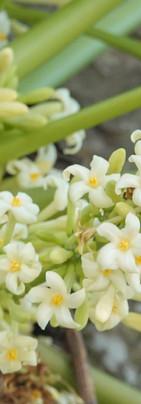 Fleurs de papyer