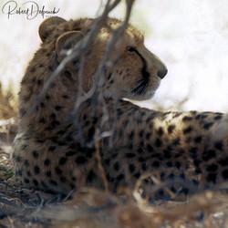 Guépard - Désert du Kalahari