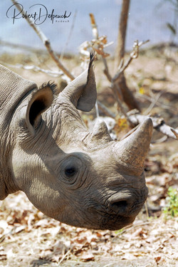 Rhinocéros noir - Lac Kariba