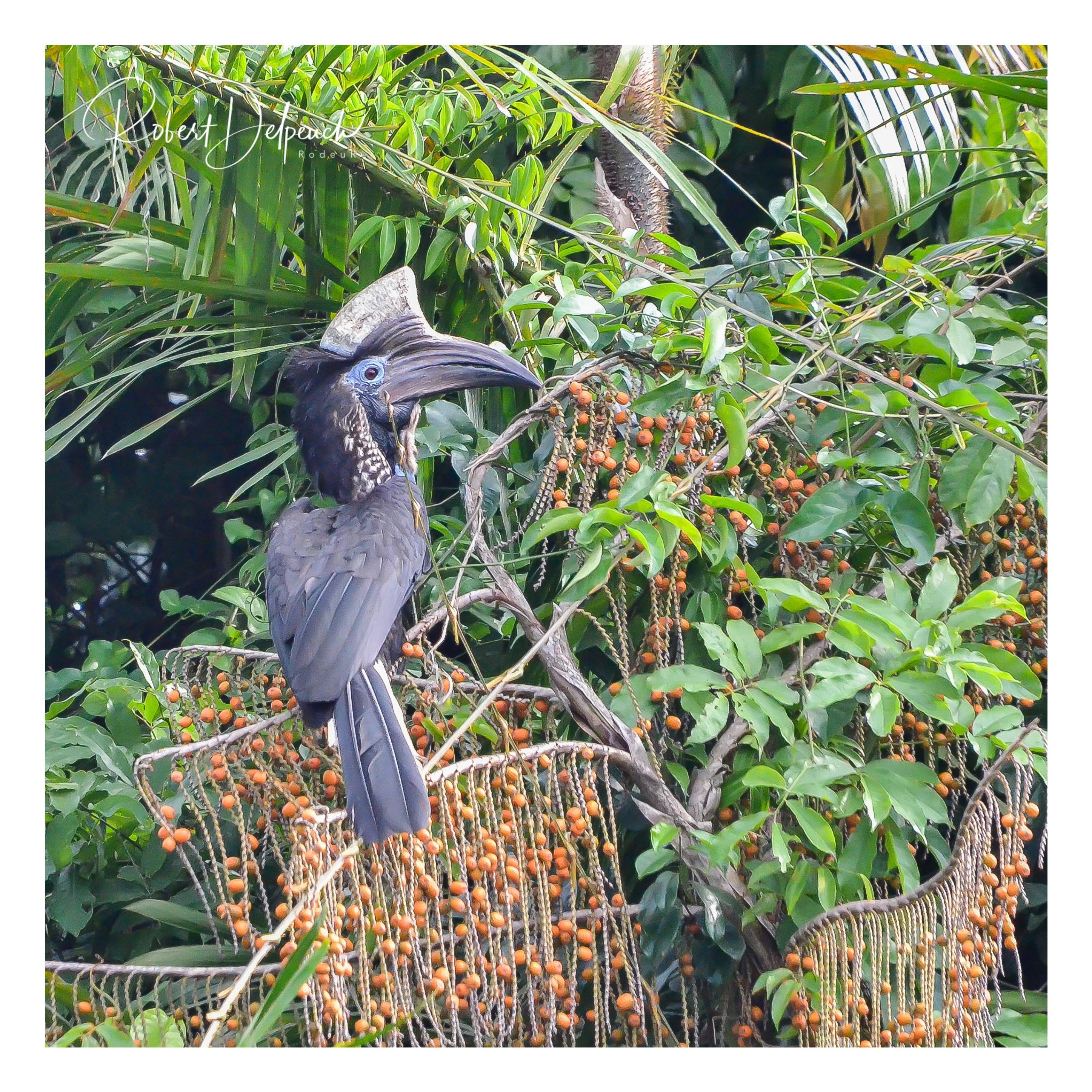 Touraco à casque noir - Côte d'Ivoire