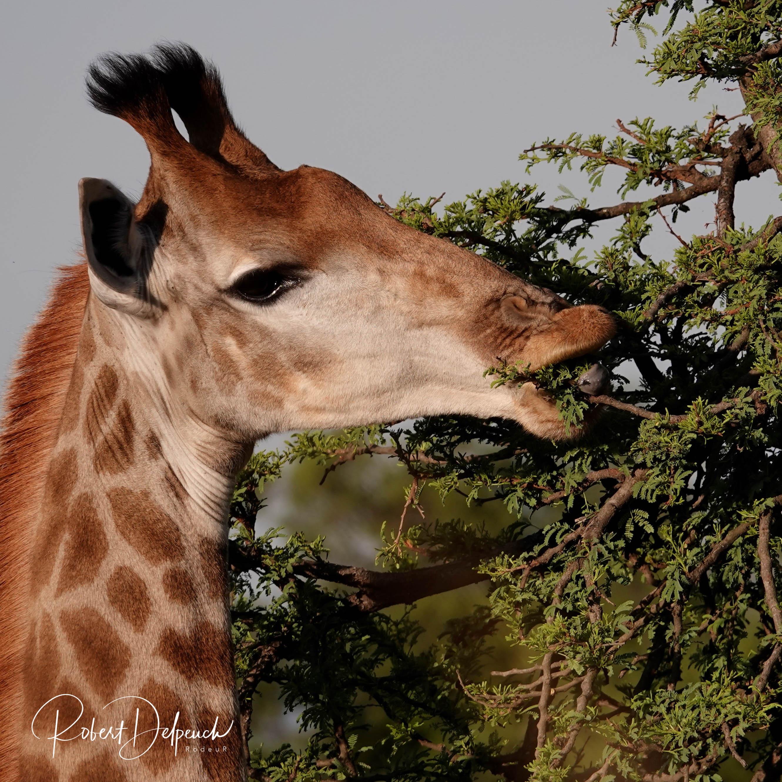 Girafe angolensis