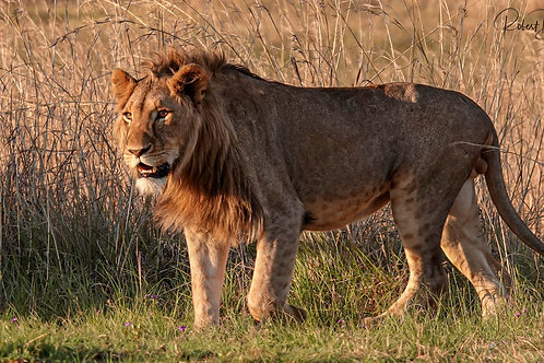 Le Roi Lion Nambiti - RSA