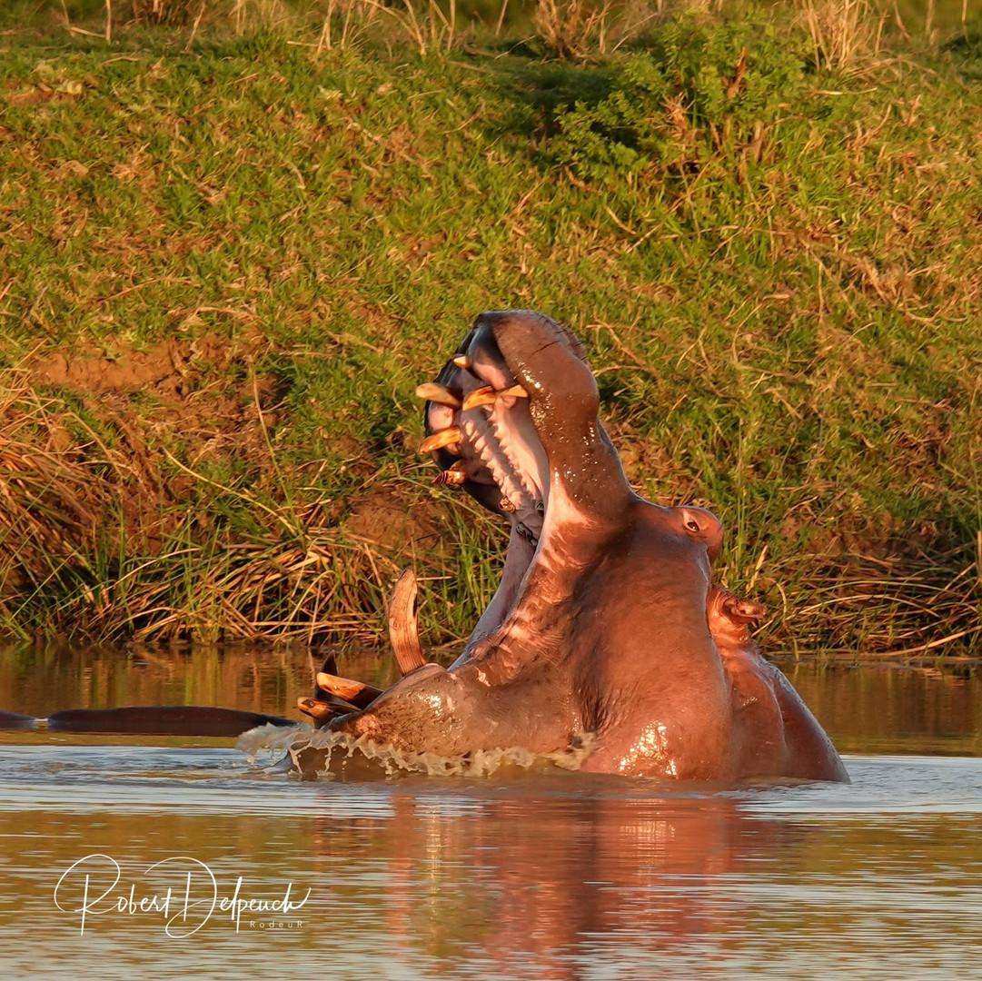 Hippopotame -Nambiti - RSA