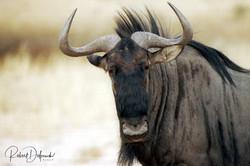 Gnou - Désert du Kalahari