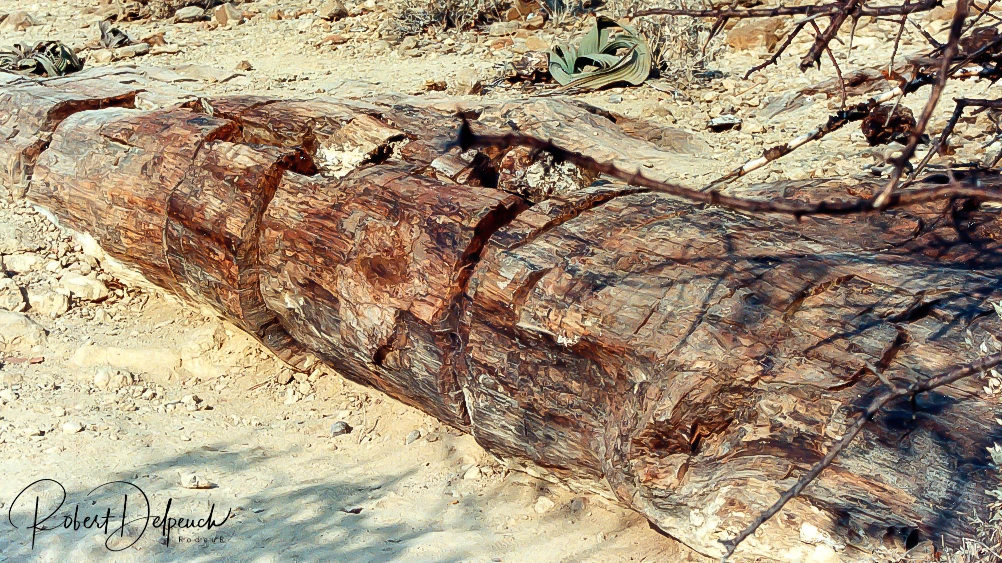Arbre pétrifié - Damaraland
