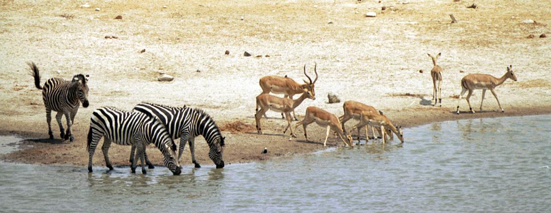 Zèbres et impala - Etosha