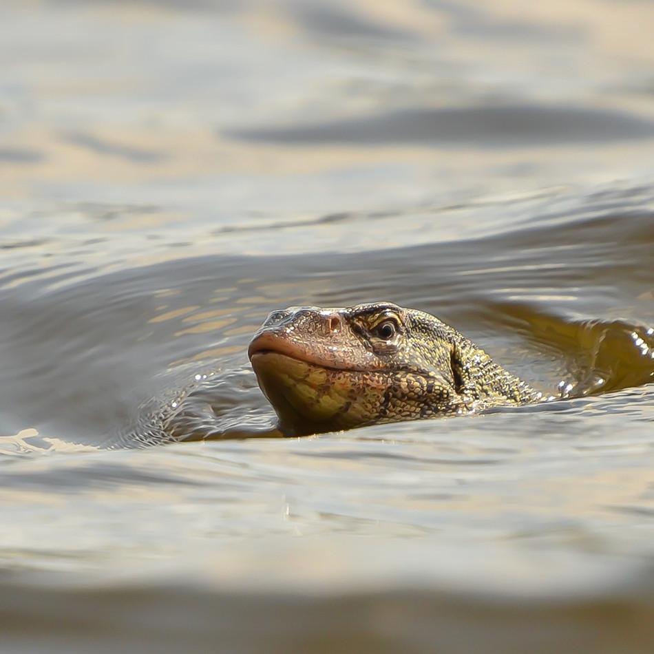 Varant nageant dans la lagune Aby - Côte d'Ivoire