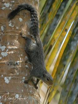 Ecureuil palmiste