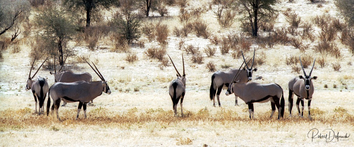 Oryx - Désert du Kalahari