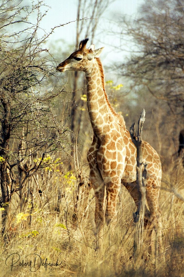 Girafe (angolensis) - Hwange -