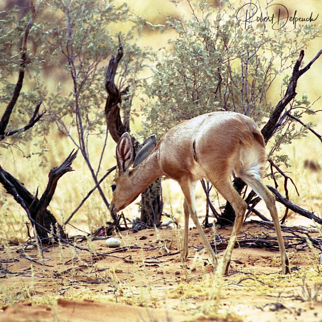 Steenbok - Hwange