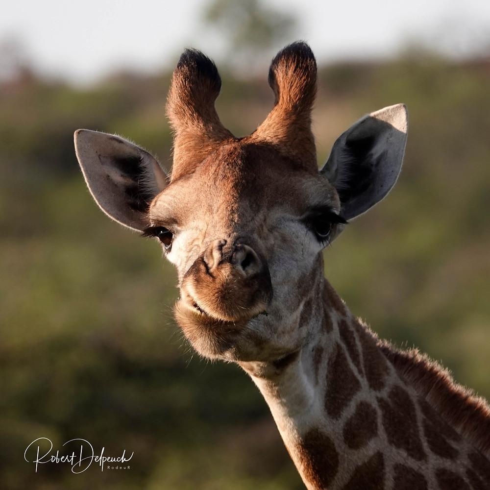 Magnifique expression de cette girafe ruminant