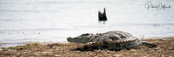 Crocodile du Nil - Lac Kariba