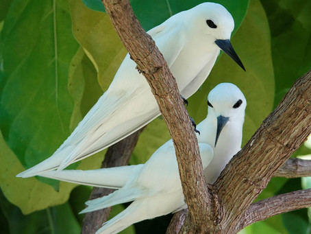 Oiseaux de Seychelles