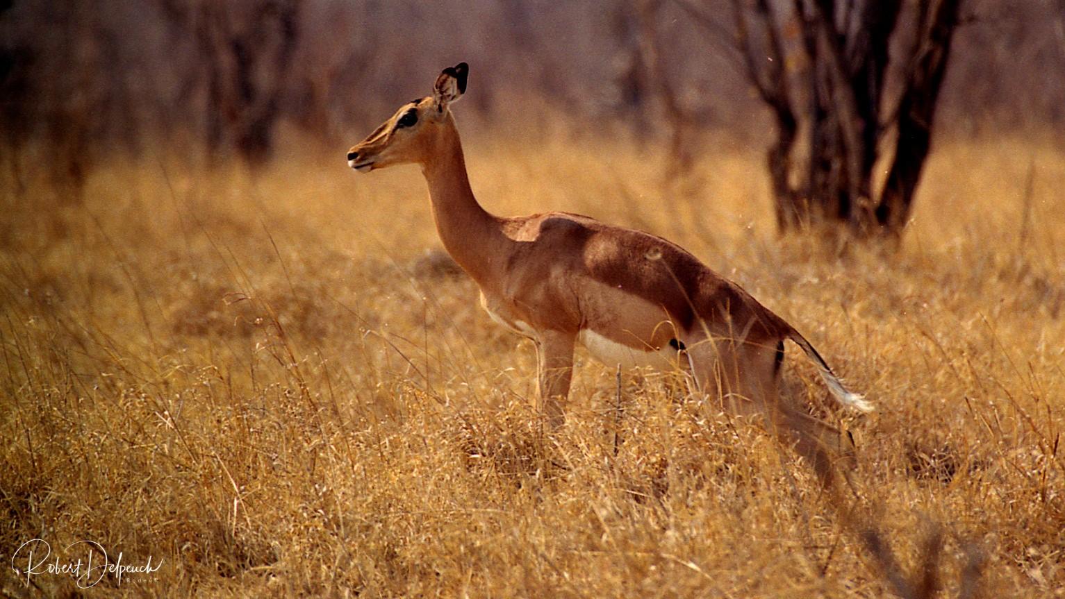 Impala - Hwange