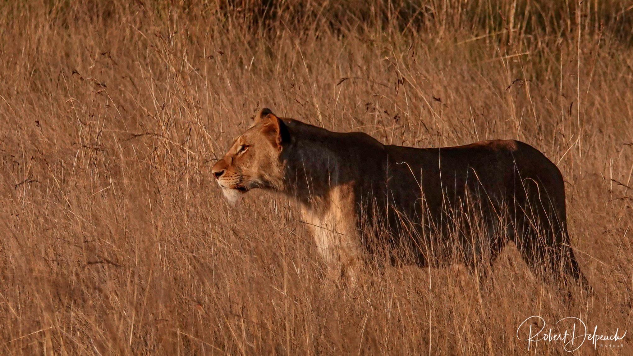 Lionne - Nambiti/Kwazulu Natal - Afrique du Sud