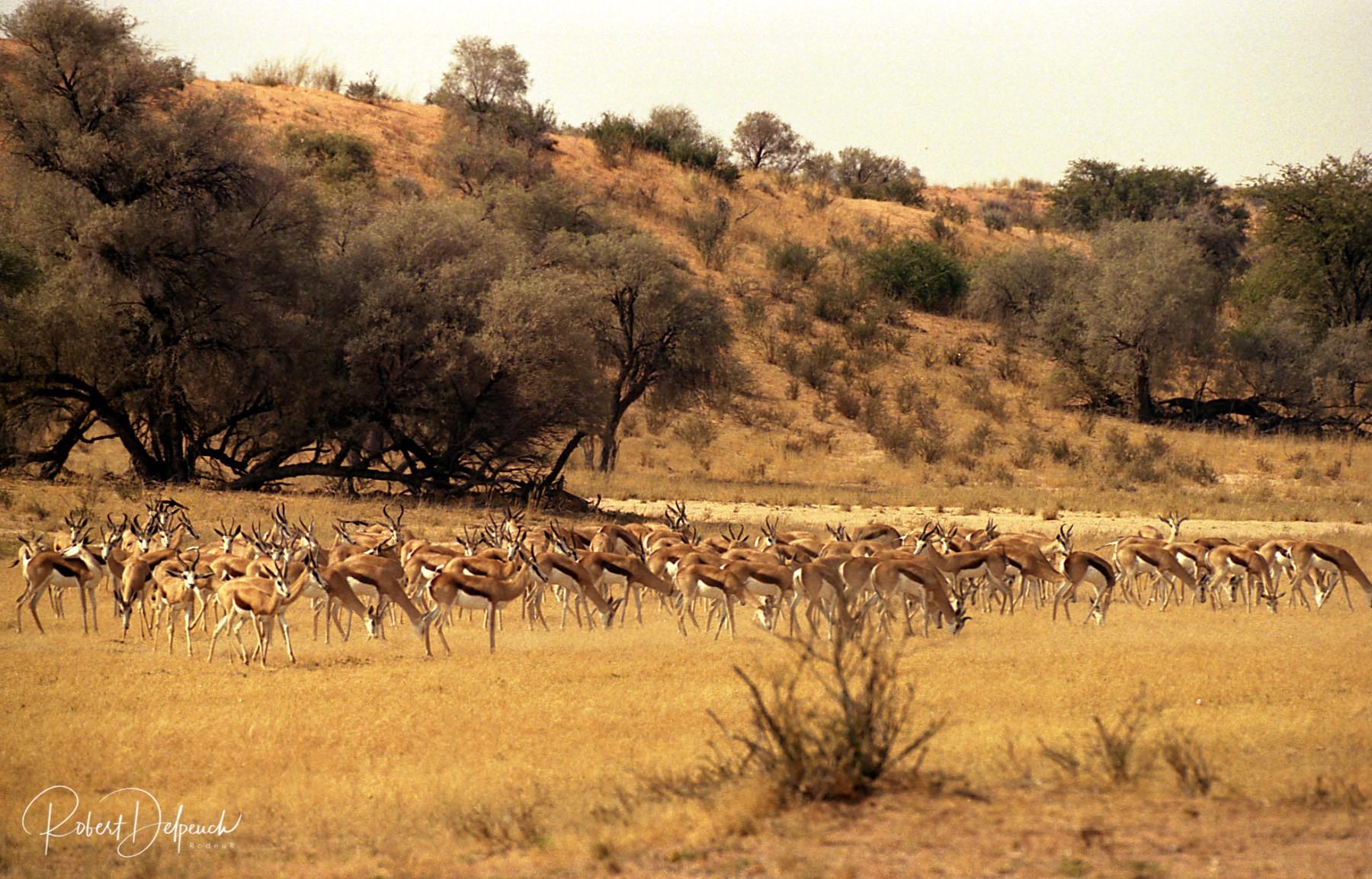 Spingbok - Désert du Kalahari