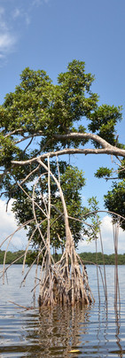 Mangrove de palétuviers rouges