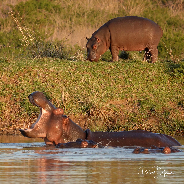 Hippopotame amphibie
