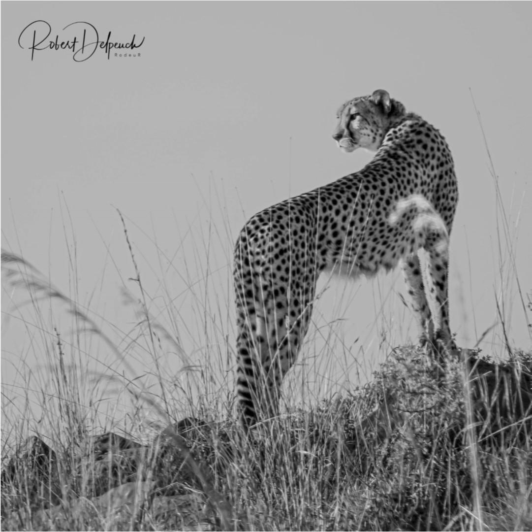 Guêpard - Nambiti - RSA