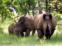 Rhinocéros blanc