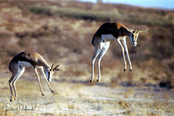 Springbok - Désert du Kalahari