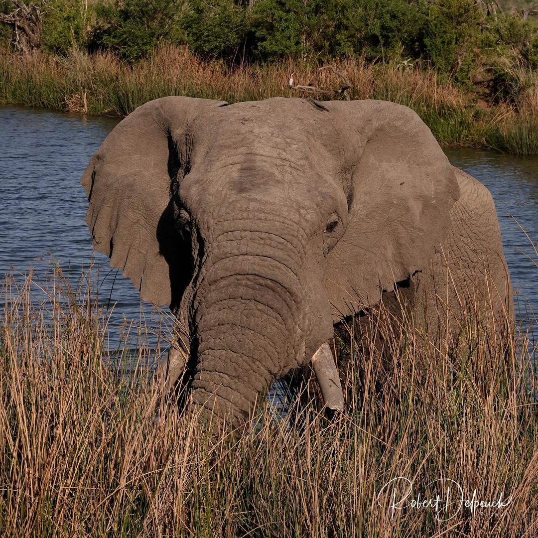 Eléphant - Nambiti - RSA
